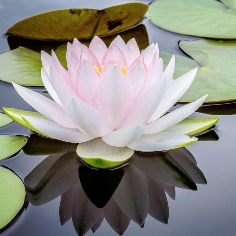 Doftolja till ljustillverkning - Sacred Lotus